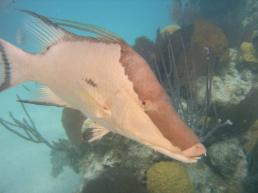Hogfish in Bermuda