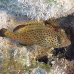 Bermuda red hind