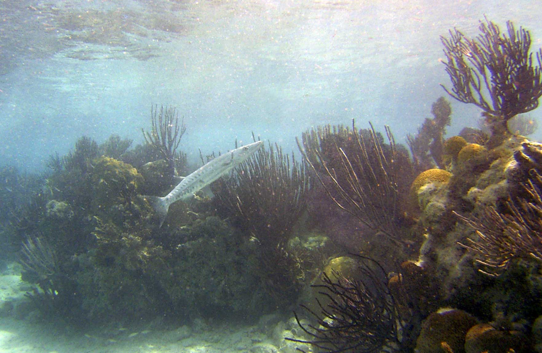 Barracuda on Hartley's reef, Bermuda in 2005