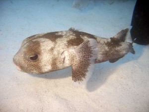 Bermuda porcupine puffer