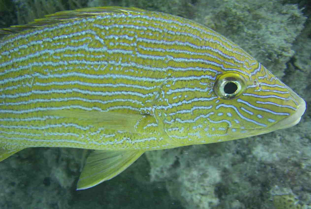 Photo of blue stripped grunt in Bermuda
