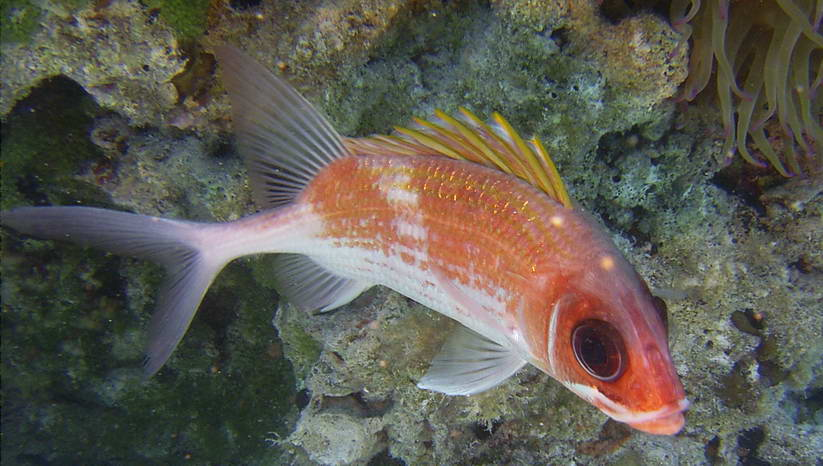 Gollum the Squirrelfish