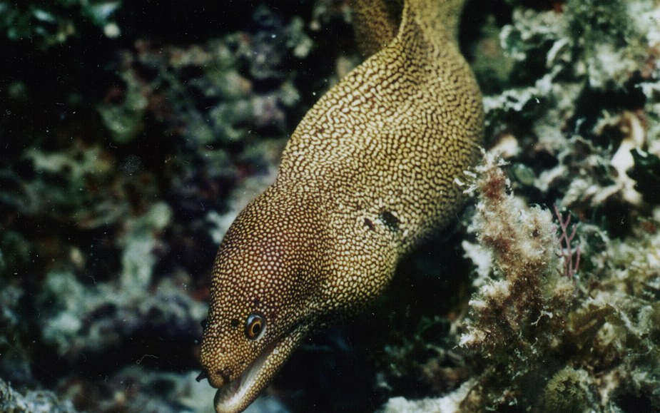 Franklin the goldentailed moray eel