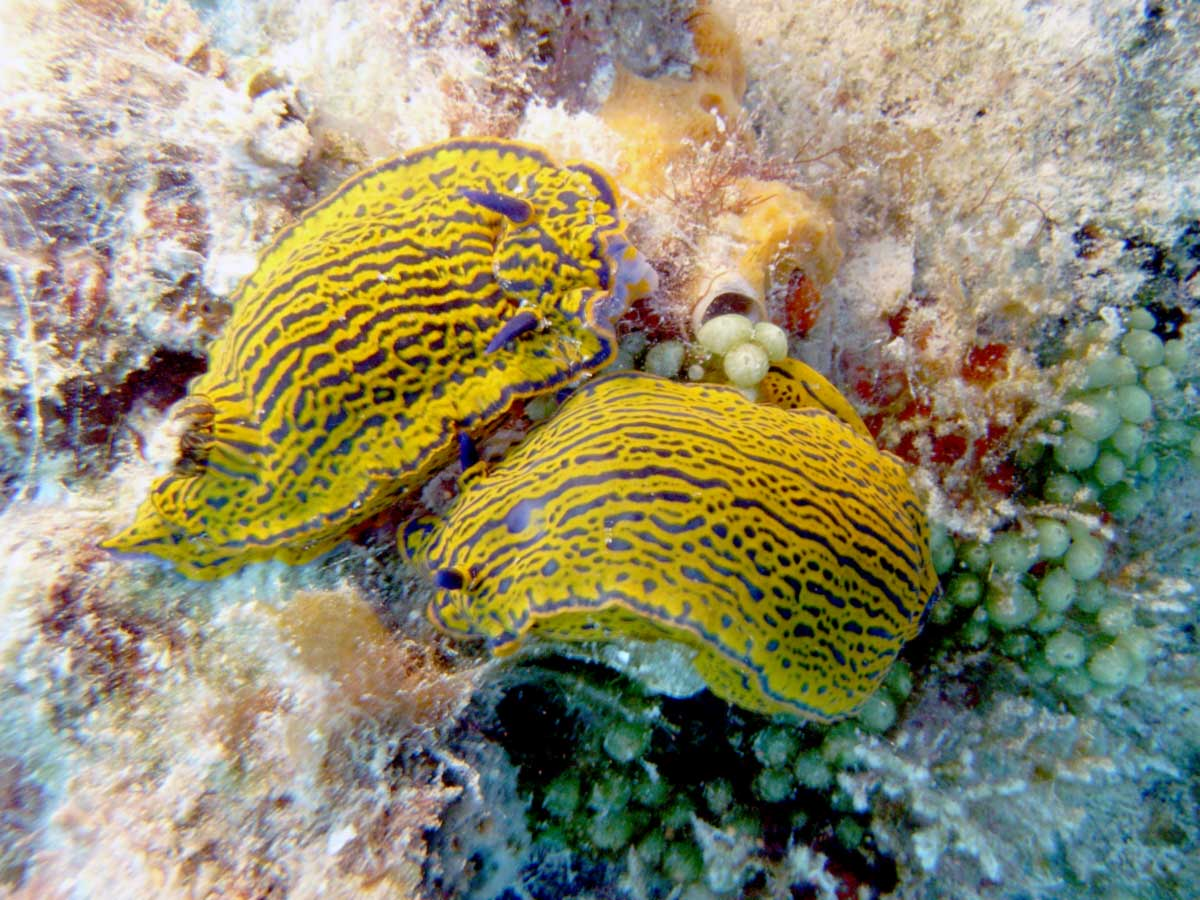 Two mating nudibranchs in bermuda