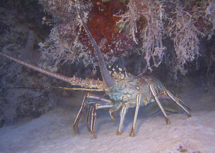 A spiny lobster in 25 feet of water off Pomano Beach Club.