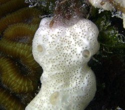 Photo of a white sponge striving with brain coral and plants, taken by Greg Hartley in Bermuda.